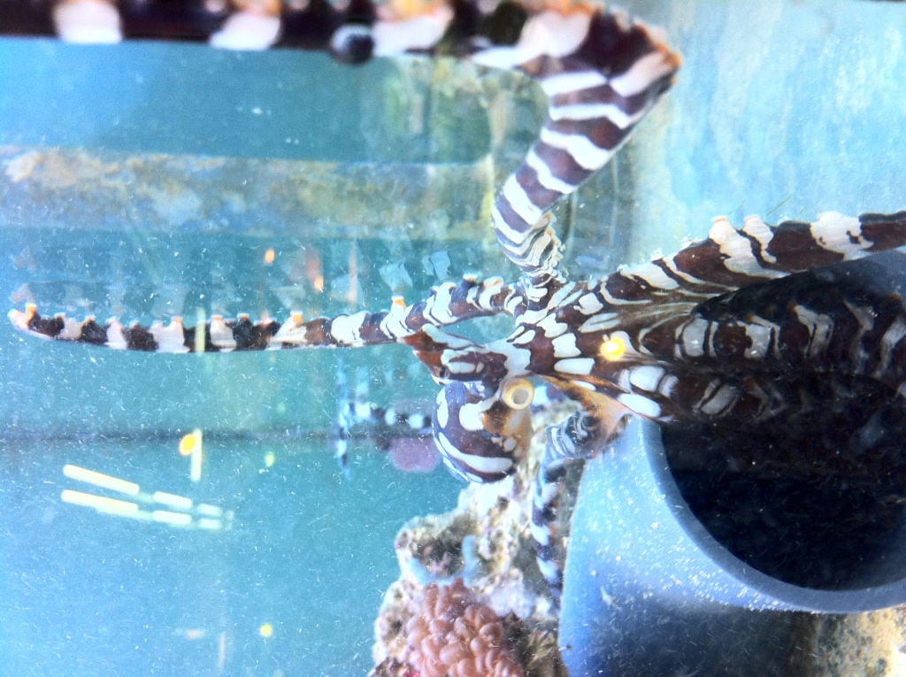 Octopus_wunderpus